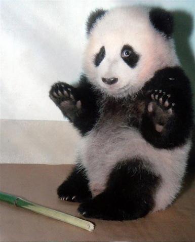 guilty-looking-panda